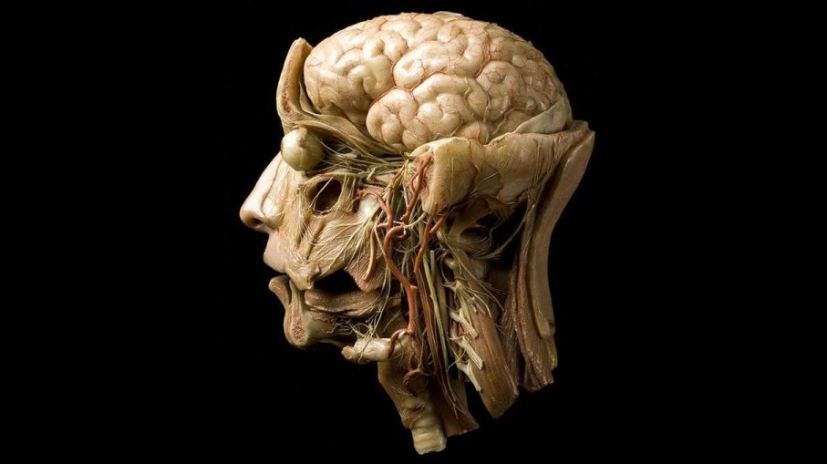 The development of the human brain